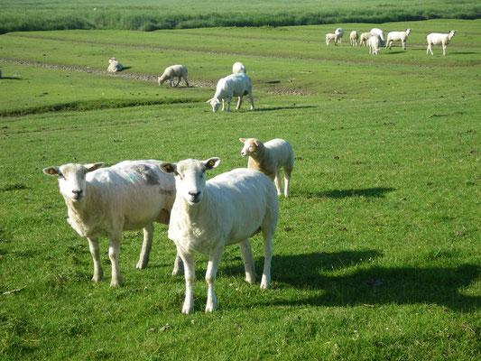 Nordstrand Schafe