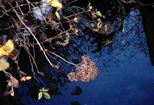 水路と枯れアジサイ
