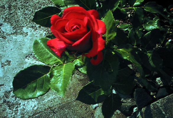 花を探す日曜日2/バラの姿I
