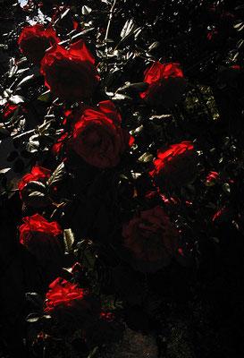 花を探す日曜日41/バラの姿VI