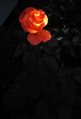 花を探す日曜日18/バラの姿II