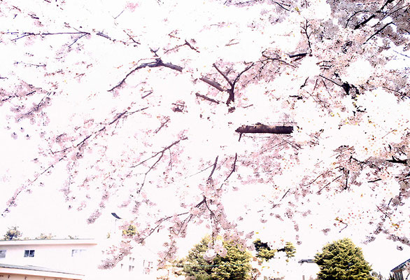 夢中歩行14/桜の夢のかりそめ