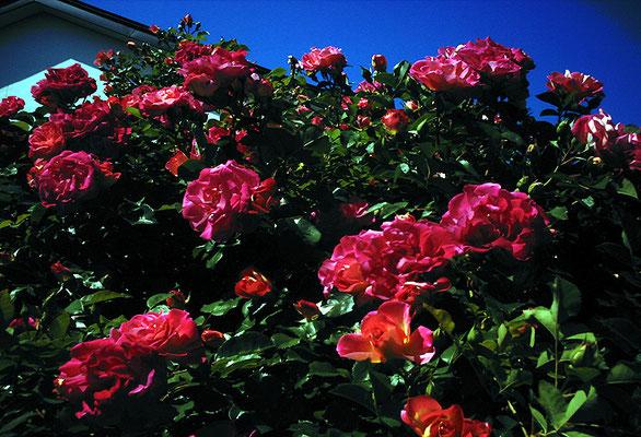 花を探す日曜日35/バラの姿V