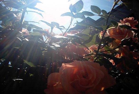 花を探す日曜日34/バラの姿IV