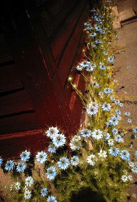 花を探す日曜日13/コーナーのニゲラ