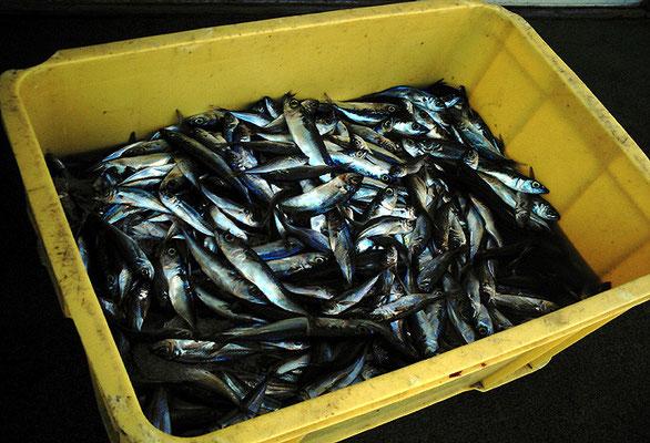出汁になれ青魚