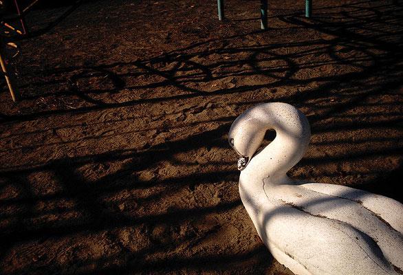 砂地の白鳥