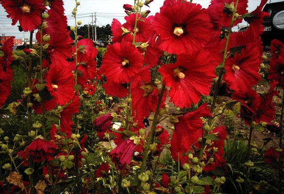 赤い花/タチアオイ