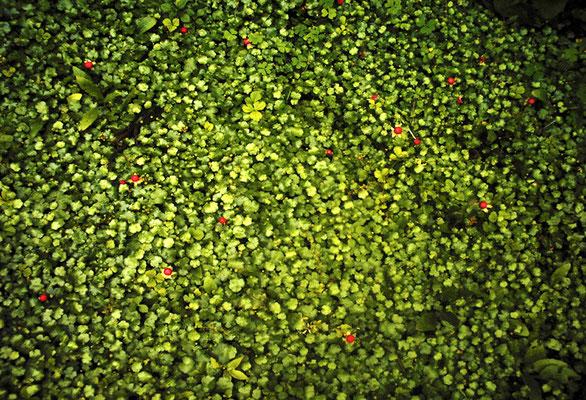 赤い実/緑の葉