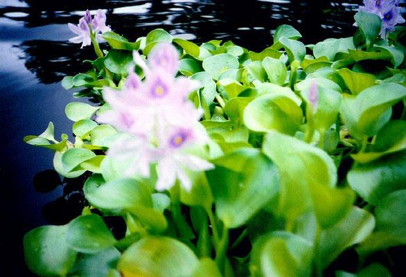 かつてといつか37/Water Hyacinth