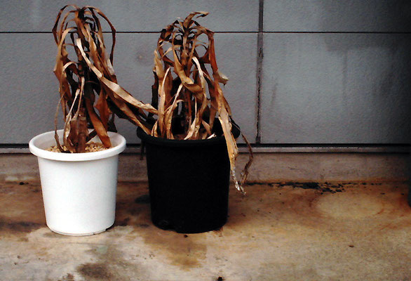 枯れ鉢2個