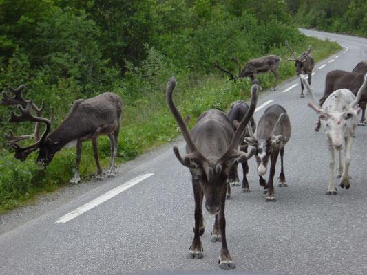 Rendieren midden op de weg.