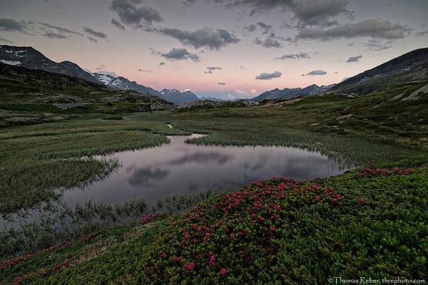 Switzerland, San Bernardino Pass, alpine rose