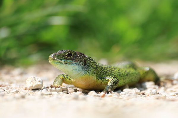 Green lizard, Le Teich, France