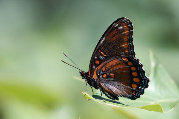 Red-Spotted Purple Admiral? Albany Pine Bush Preserve, NY, USA. Canon EOS 80D, EF 70-300mm f/4-5.6 IS II USM à 300mm, f/5.6, 1/250 s, (00 ISO