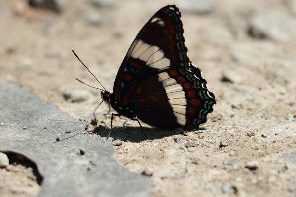 White Admiral, Buck Mountain, NY, USA. Canon EOS 80D, EF 70-300mm f/4-5.6 IS II USM à 300mm, f/5,6, 1/125 s, 100 ISO