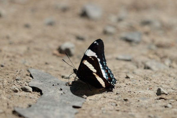 White Admiral, Buck Mountain, NY, USA. Canon EOS 80D, EF 70-300mm f/4-5.6 IS II USM à 300mm, f/5,6, 1/160 s, 100 ISO