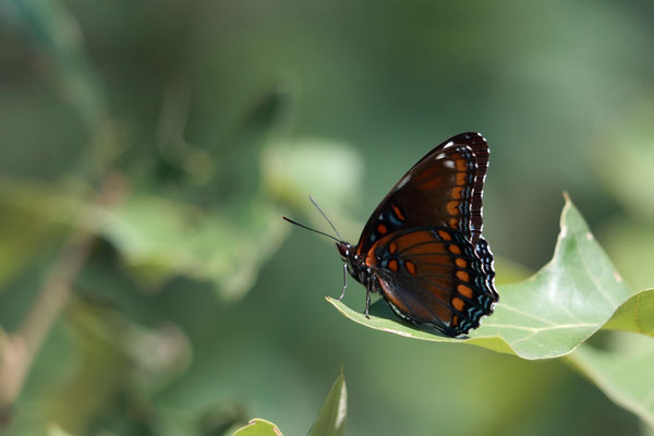 Red-Spotted Purple Admiral? Albany Pine Bush Preserve, NY, USA. Canon EOS 80D, EF 70-300mm f/4-5.6 IS II USM à 300mm, f/5.6, 1/250 s, 640 ISO