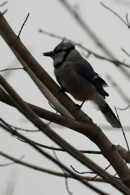 """Un blue Jay New-yorkais"" Central Park, NYC, NY, USA. Canon EOS 80D, Canon EOS 80D, EF 70-300mm f/4-5.6 IS II USM à 151mm, f/5,6, 1/200 s, 4000 ISO"