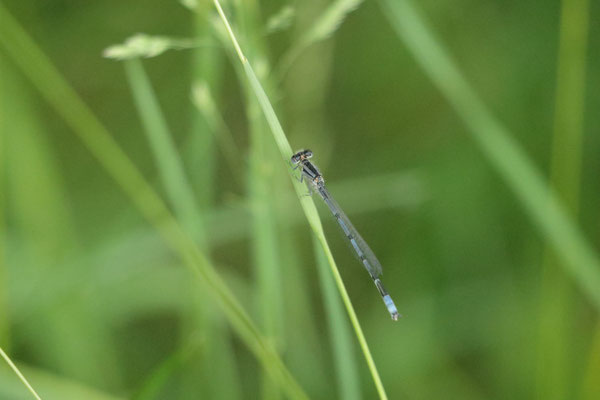 Familiar Bluet (Enallagma civile). Montezuma National Wildlife Refuge, NY, USA. Canon EOS 80D, EF 70-300mm f/4-5.6 IS II USM à 300mm, f/5,6, 1/125 s, 6400 ISO
