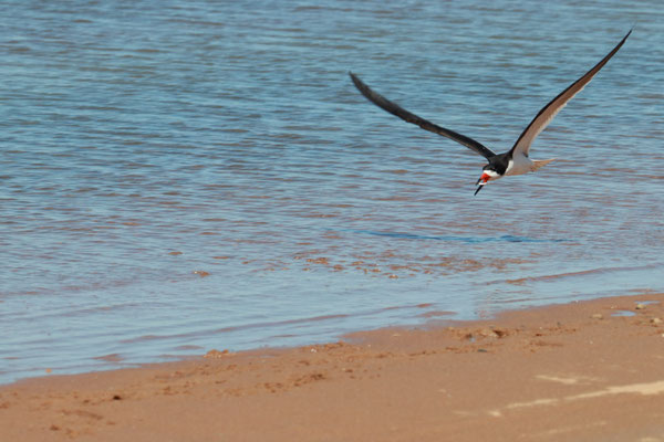 Cape Poge Wildlife Refuge, Chappaquiddick Island, Martha's Vineyard, MA, USA. Canon EOS 80D, EF 70-300mm f/4-5.6 IS II USM à 300mm, f/10, 1/400 s, 400 ISO