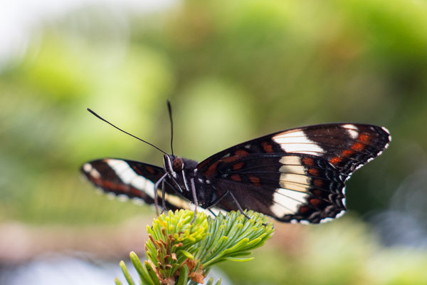 et de red spotted admiral