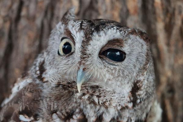 Eastern Screech-Owl (petit-duc maculé) de l'association, vraiment tout petit (une vingtaine de centimètre).