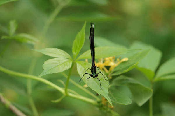 Ebony Jewelwing (Calopteryx maculata) - femelle. Montezuma National Wildlife Refuge, NY, USA. Canon EOS 80D, EF 70-300mm f/4-5.6 IS II USM à 300mm, f/5,6, 1/125 s, 2500 ISO