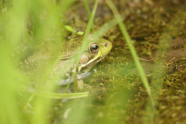Green Frog - Grenouille Verte. Watkins Glen State Park, NY, USA. Canon EOS 80D, EF 70-300mm f/4-5.6 IS II USM à 300mm, f/6,3, 1/100 s, 2000 ISO