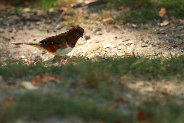 Femelle. Mass Audubon's Felix Neck Wildlife, Martha's Vineyard, MA, USA. Canon EOS 80D, EF 70-300mm f/4-5.6 IS II USM à 300mm, f/5.6, 1/125s, 800 ISO
