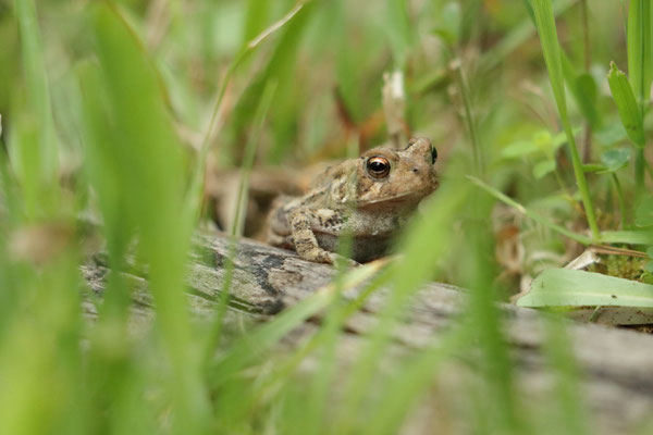 American Toad - Crapaud D'Amérique. Montezuma National Wildlife Refuge, NY, USA. Canon EOS 80D, EF 70-300mm f/4-5.6 IS II USM à 300mm, f/5,6, 1/125 s, 4000 ISO