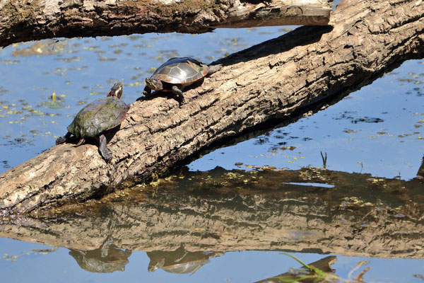 Painted turtle. Tortue peinte. Five rivers, NY, USA. Canon EOS 80D, EF 70-300mm f/4-5.6 IS II USM à 300mm, f/6.3, 1/400 s, 640 ISO