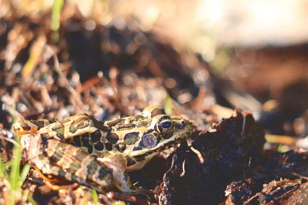 Pickerel Frog - Grenouille des marais. Buck Mountain, NY, USA. May 2019