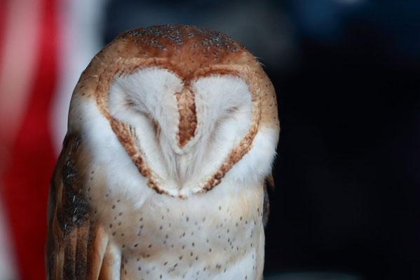 Lucy, la barn owl (chouette effraie) de l'association