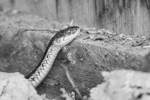 Gartner snake, Shodack Island