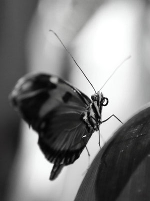 Butterfly Conservatory, Muséum d'histoire naturelle de NYC, US, May 2019