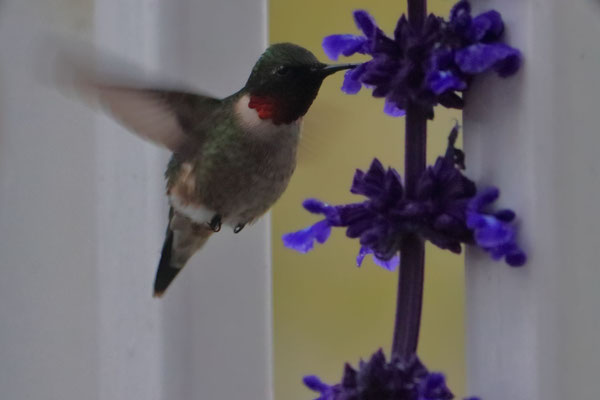 Ruby Throated Hummingbird <3
