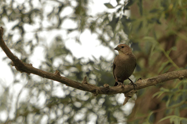 Femelle. Montezuma National Wildlife Refuge, NY, USA. Canon EOS 80D, EF 70-300mm f/4-5.6 IS II USM à 300mm, f/5,6, 1/25 s, 125 ISO
