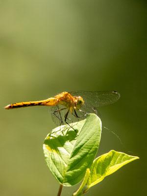Dragonfly Meadowhawks