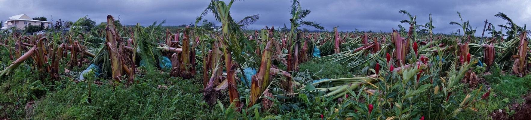 Banana fields after Maria Hurricane in 2017 (copyright: Didier-Laurent Aubert – DAAF Guadeloupe)