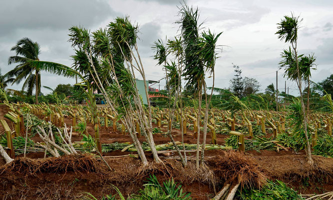 Banana plants damaged after a hurricane in Guadeloupe (copyright: Didier Laurent Aubert – DAAF Guadeloupe)