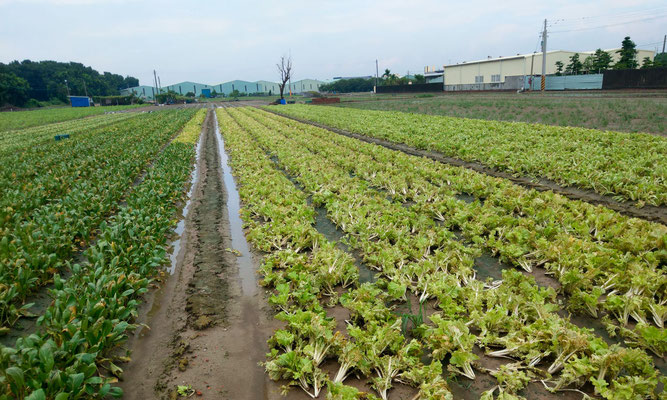 Heavy downpour caused leafy vegetables to soak in water and rot, making it unable to be harvested. (source: Information Bureau of Kaohsiung City Government)
