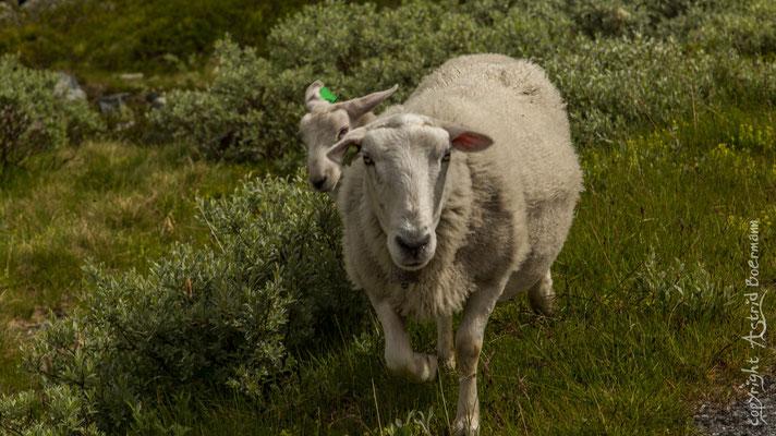 .. für die Schafe sowieso