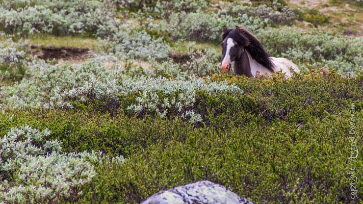 Pfede im Dovrefjell - Sie werden im Frühjahr ins  Fiel gebracht und bleiben dort mir ihren 1- 2 jährigen Fohlen bis in den Herbst