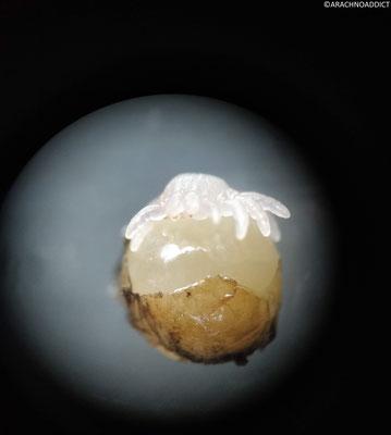 Grammostola anthracina Prälarve