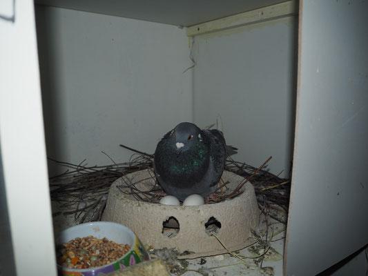 Evtl. Eier werden gegen Gips-Eier ausgetauscht