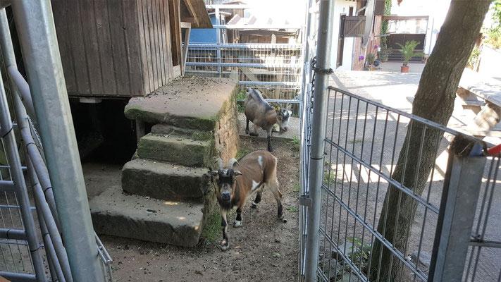 Das Ziegengehege