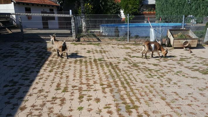 Die Ziegen im Freilauf...