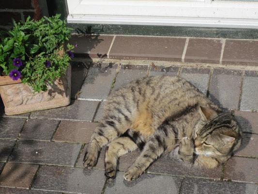 unsere Hauskatze in der Sonne