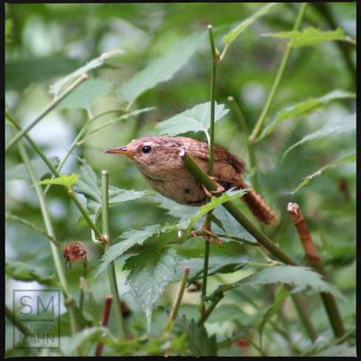 08/2016 - Weibchen im Gebüsch nahe dem Nest - female in coppice near nest